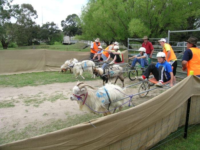Goat_racing