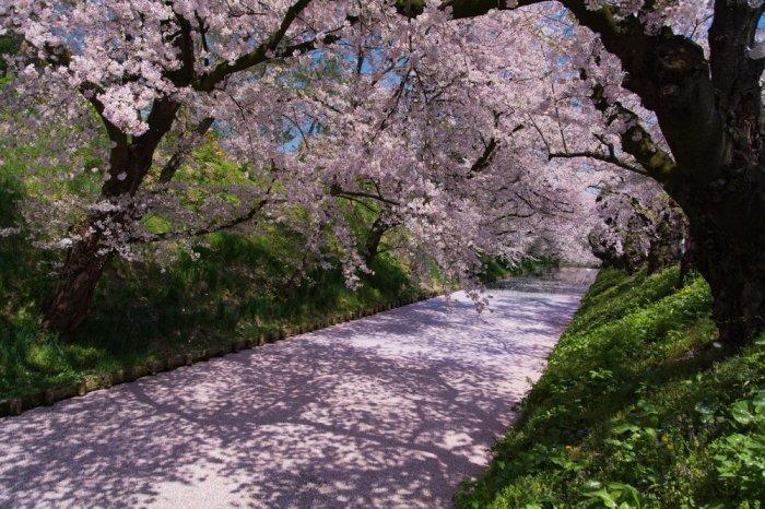 Hirosaki-pathway.jpg